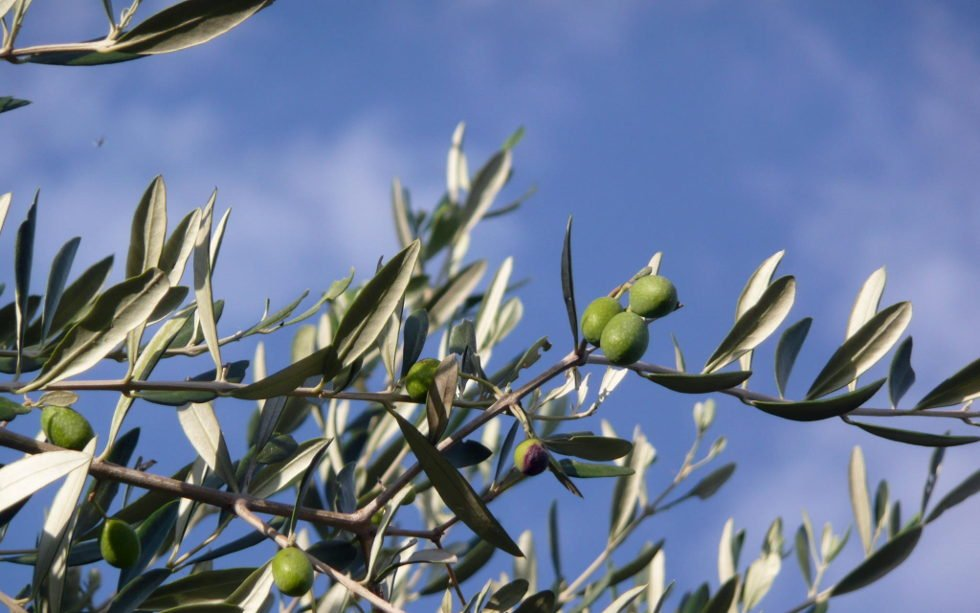 Olive Tree - Haworth's Extra Virgin Olive Oil from Immoglie, Italy